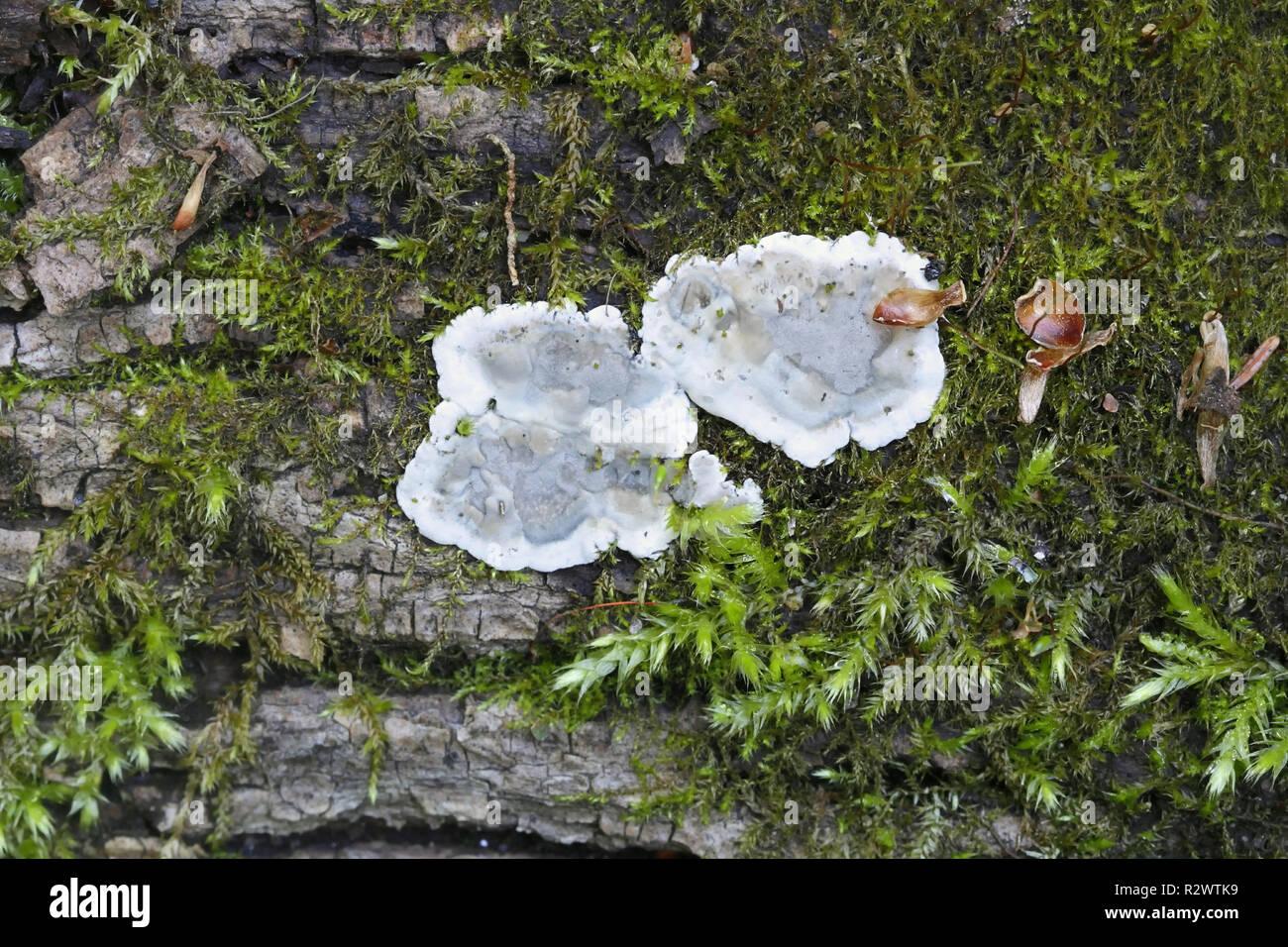 Brittle cinder fungus, Kretzschmaria deusta, major plant pathogen - Stock Image