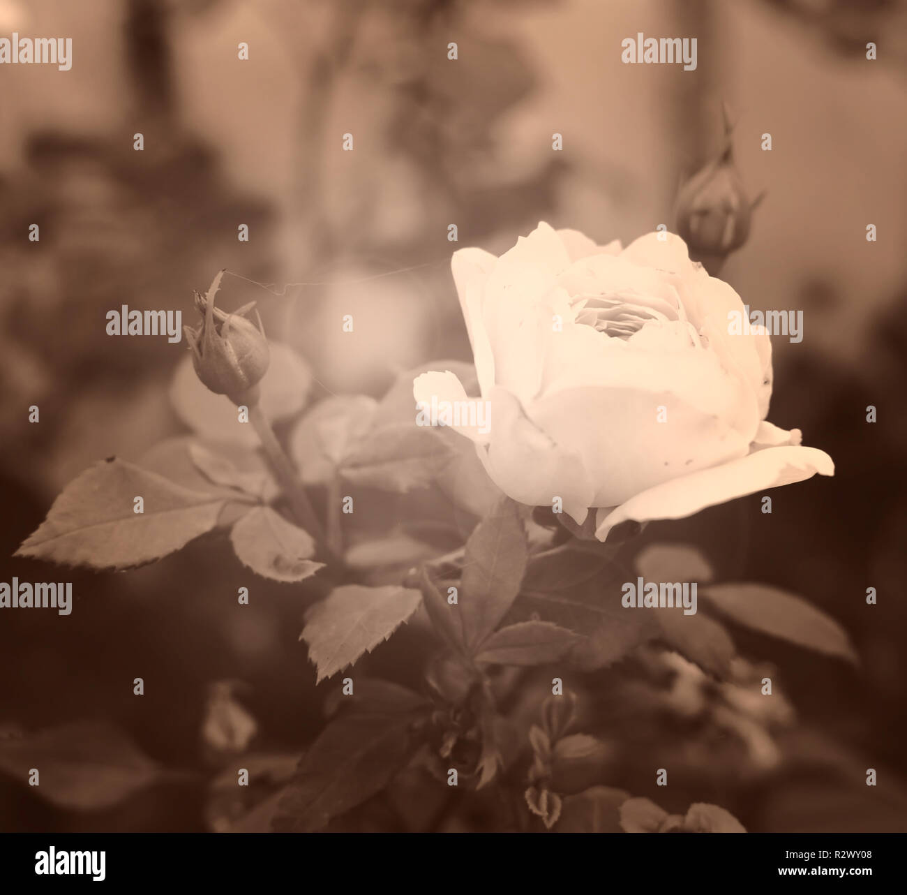 Gentle white rose close-up in soft blurred focus, sepia toned. Romance background, pastel and soft flower card. Vintage soft dreamy image. - Stock Image