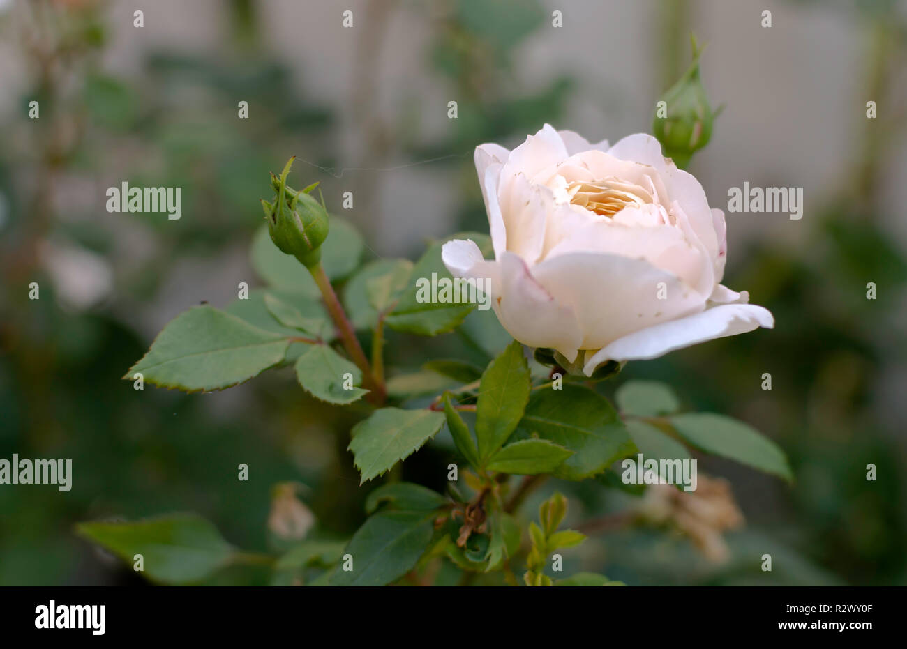 Gentle light pink rose close-up in soft blurred focus. Romance background, pastel and soft flower card. - Stock Image