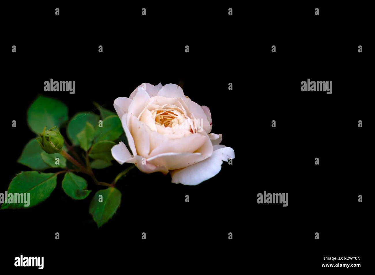 Gentle light pink rose close-up against black background. Dramatic look of pale rose for a gorgeous background. Pale pink rose in the dark. - Stock Image