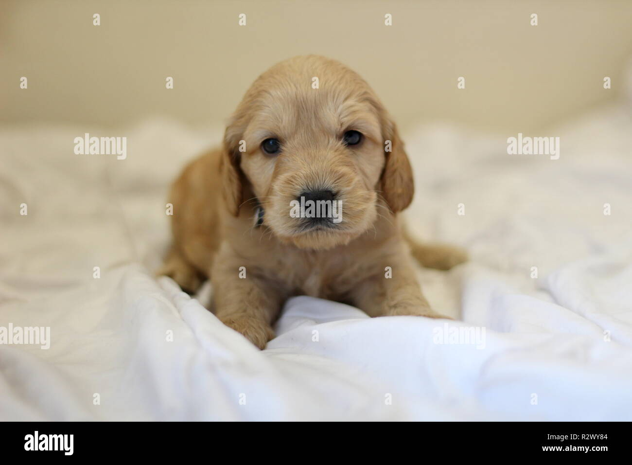 Cockapoo Puppy - Stock Image