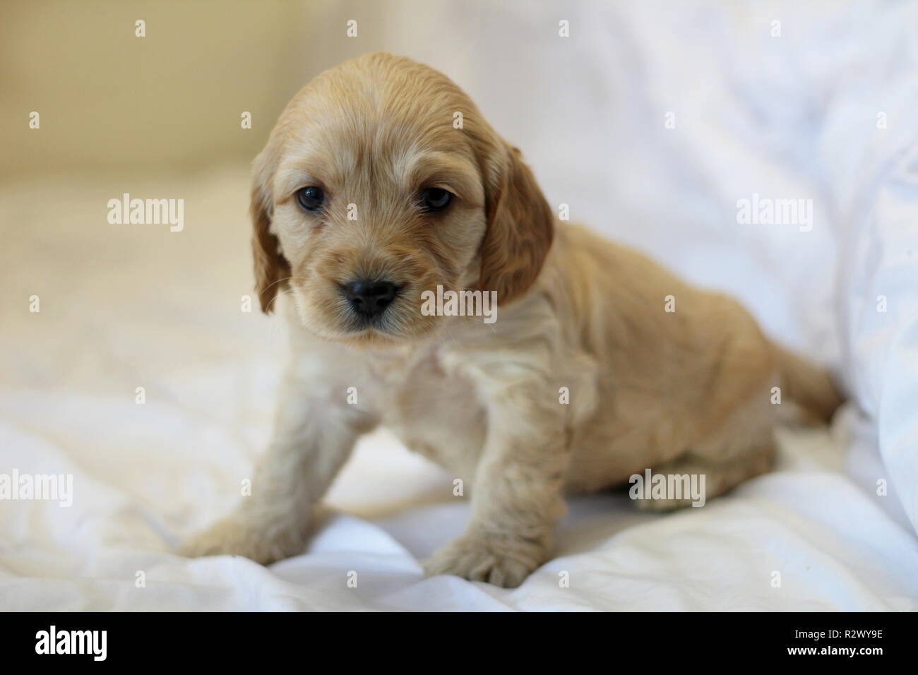 Cockapoo Puppy Stock Photo