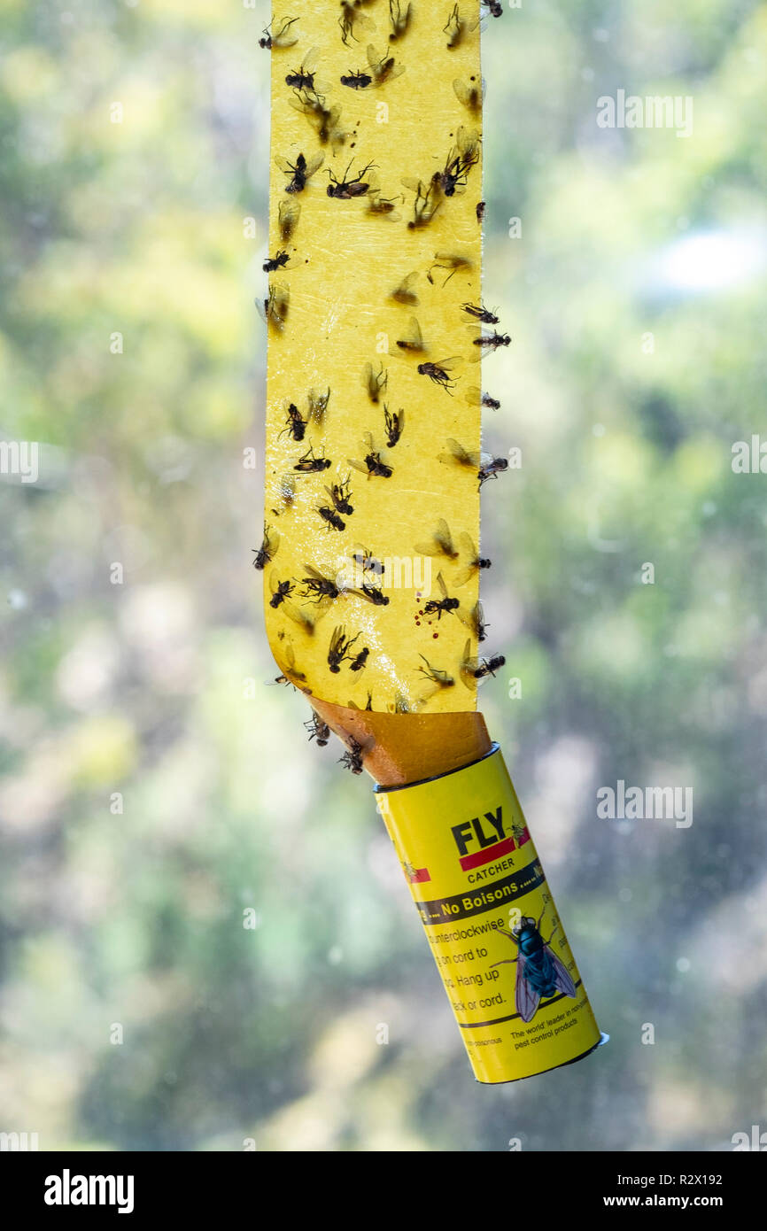 House flies captured on traditional sticky fly paper - Stock Image