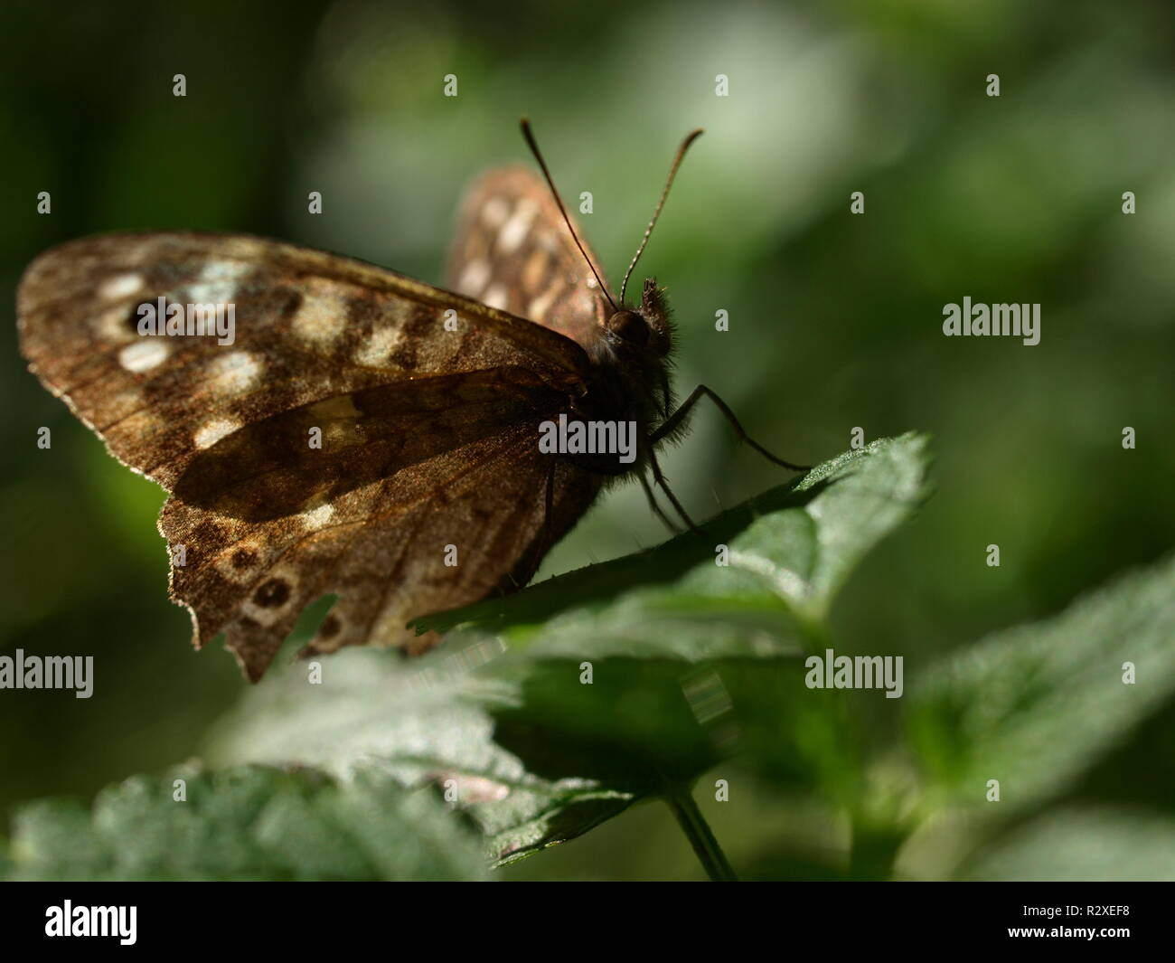 speckled wood - Stock Image