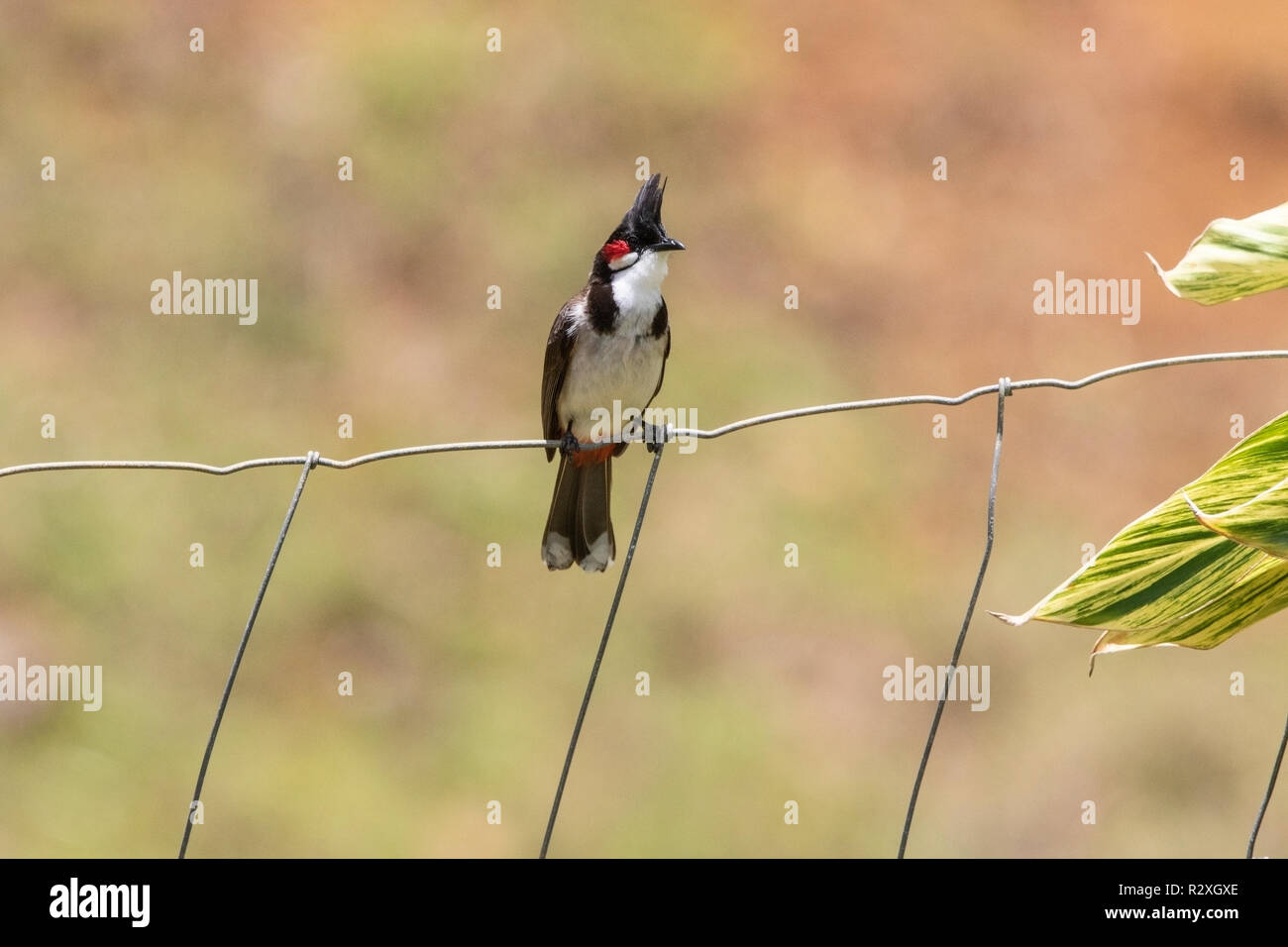 red-whiskered bulbul Pycnonotus jocosus adult perched on fence, Maurtitus, Indian Ocean - Stock Image