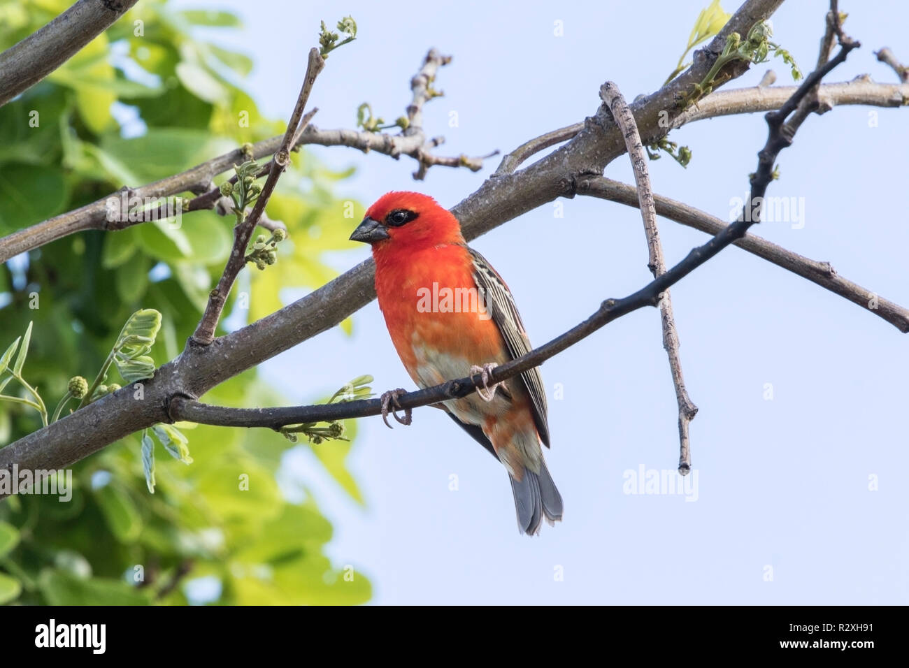red fody or Madagascar fody Foudia madagascariensis adult male perched on tree on Mauritius, Indian Ocean - Stock Image