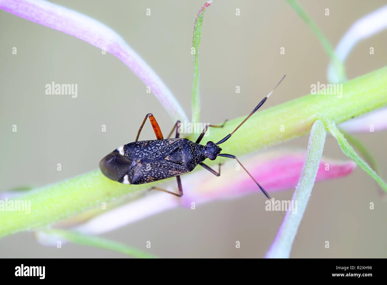 Plant bug, Closterotomus biclavatus, and fireweed - Stock Image
