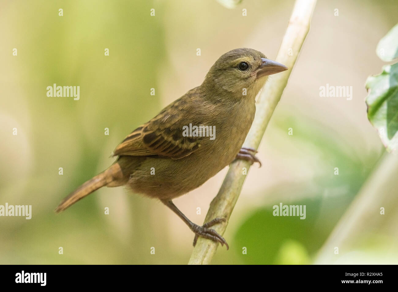 Seychelles fody Foudia sechellarum adult female perched on branch of tree, Cousin island, Seychelles, Indian Ocean - Stock Image