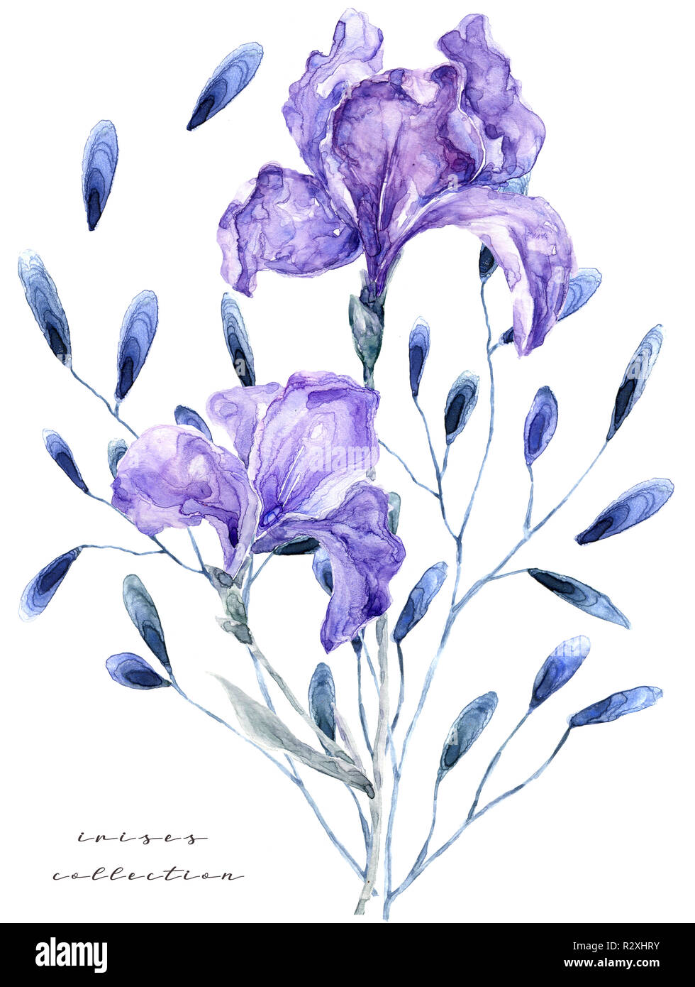 Watercolor Illustration With Iris Painting Fresh Flowers On White