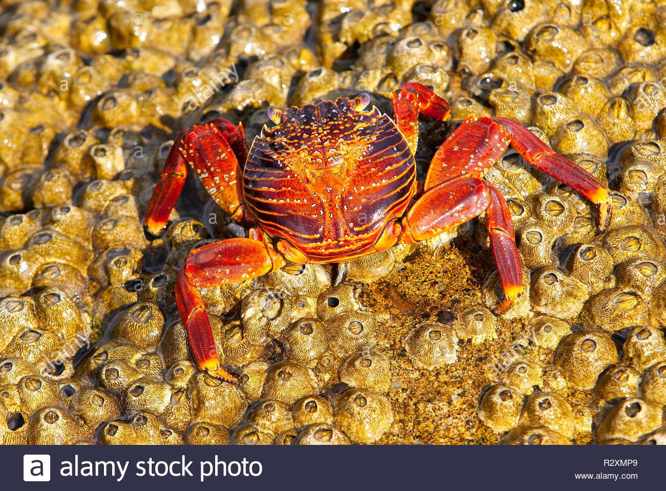 Sally lightfoot crab (Grapsus grapsus), on barnacles (Balanus balanoides). North Seymour Island, Galapagos Islands, Ecuador - Stock Image