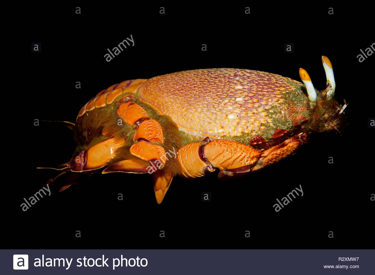 Red frog spanner crab (Ranina ranina), Sabang Beach, Mindoro, Philippines - Stock Image