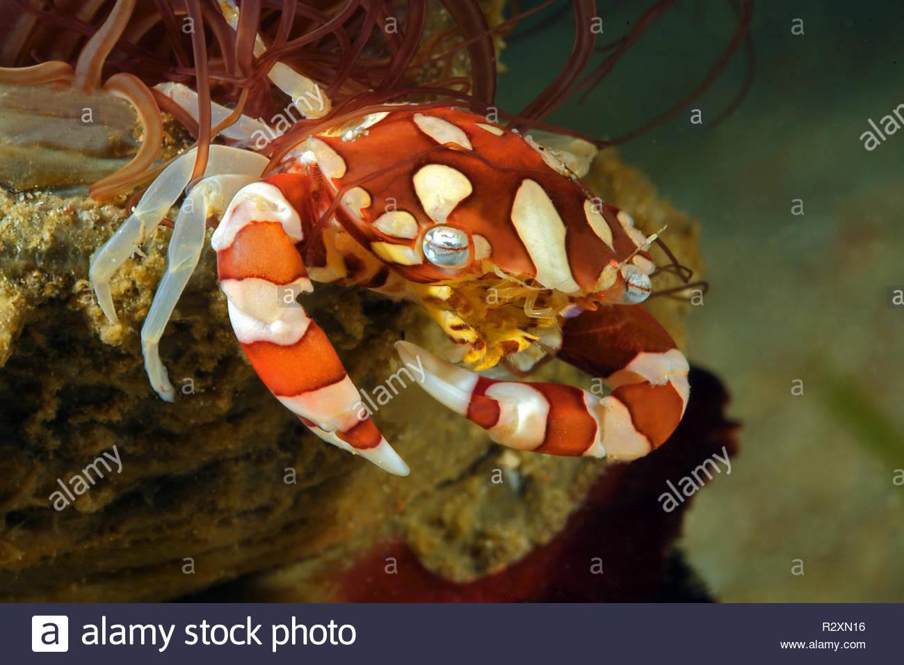 Harlequin Crab (Lissocarcinus laevis) lives with sea anemone, symbiosis, Sabang Beach, Mindoro, Philippines - Stock Image