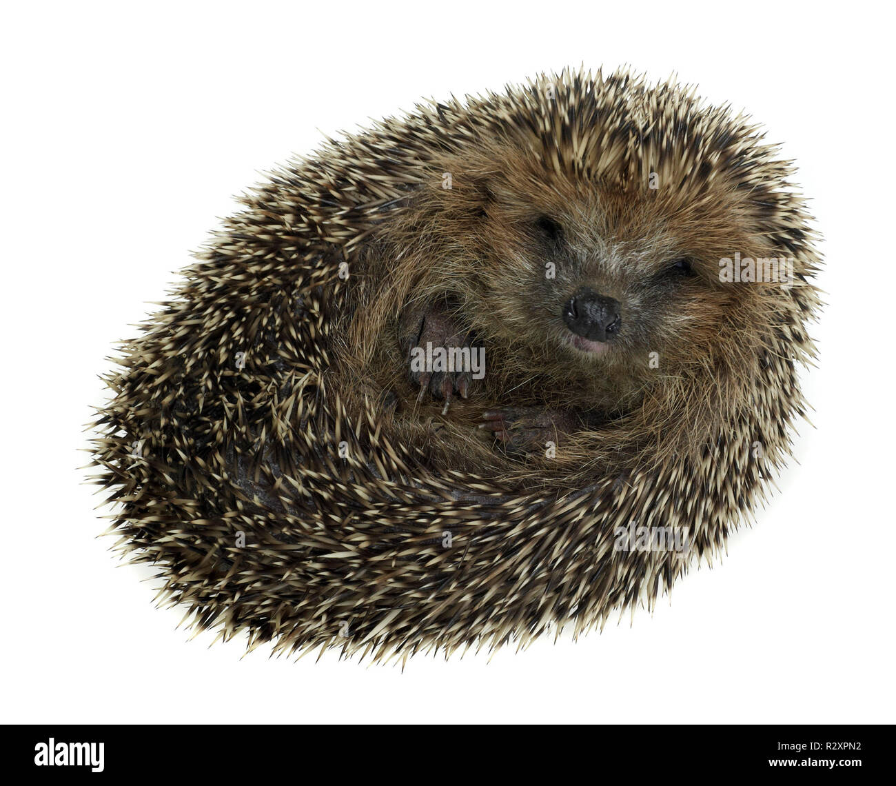 rolled-up hedgehog in white back - Stock Image