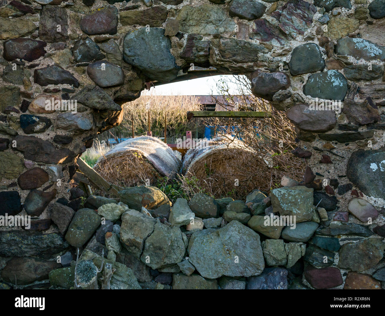 Unfinished ruined Barnes Castle with hole in outer wall, used for farm storage, East Lothian, Scotland, UK - Stock Image