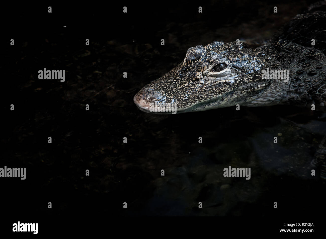 Crocodile close up floating on water surface - Stock Image