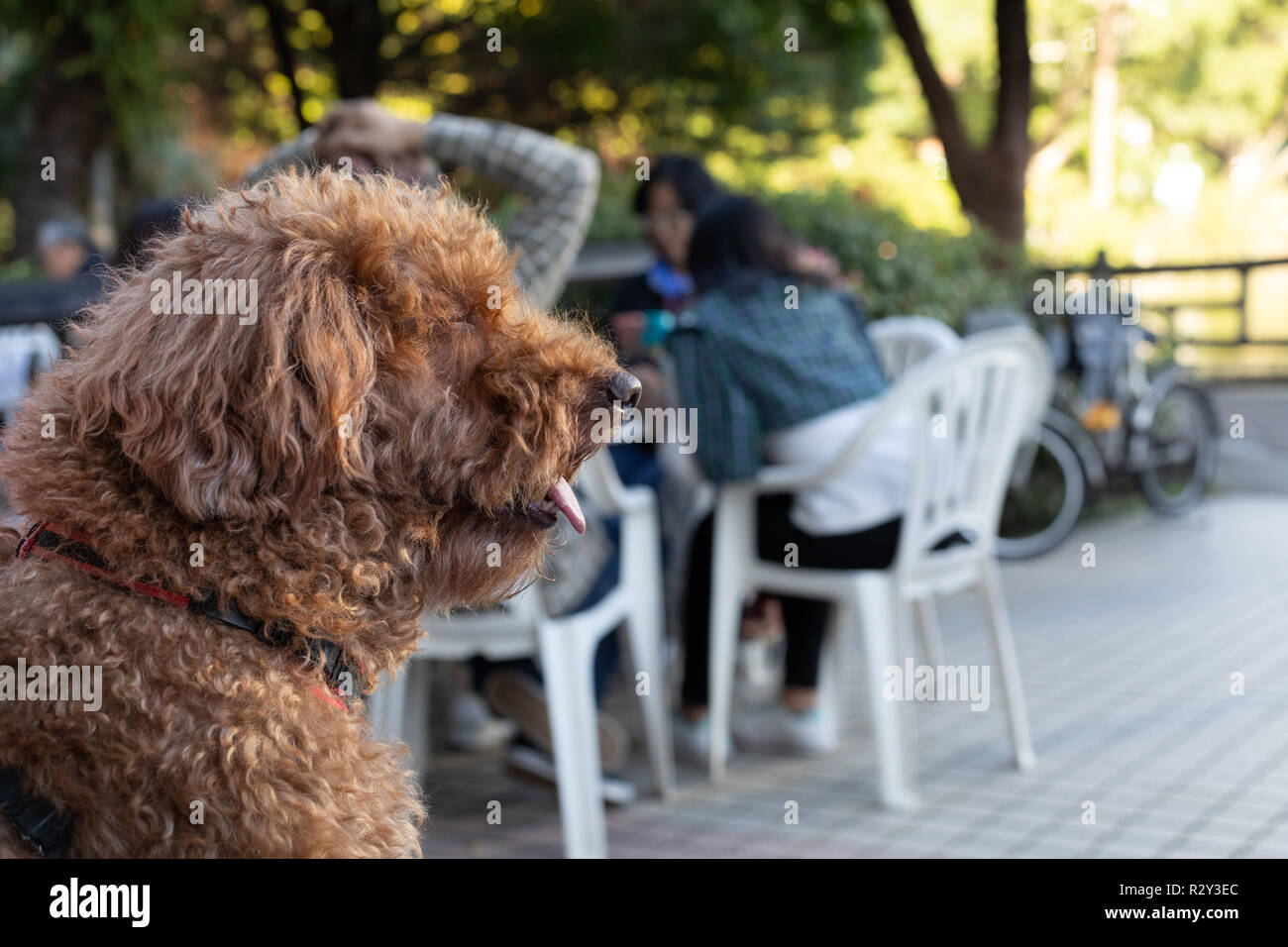 Portrait of brown poodle in an outdoor cafe Stock Photo