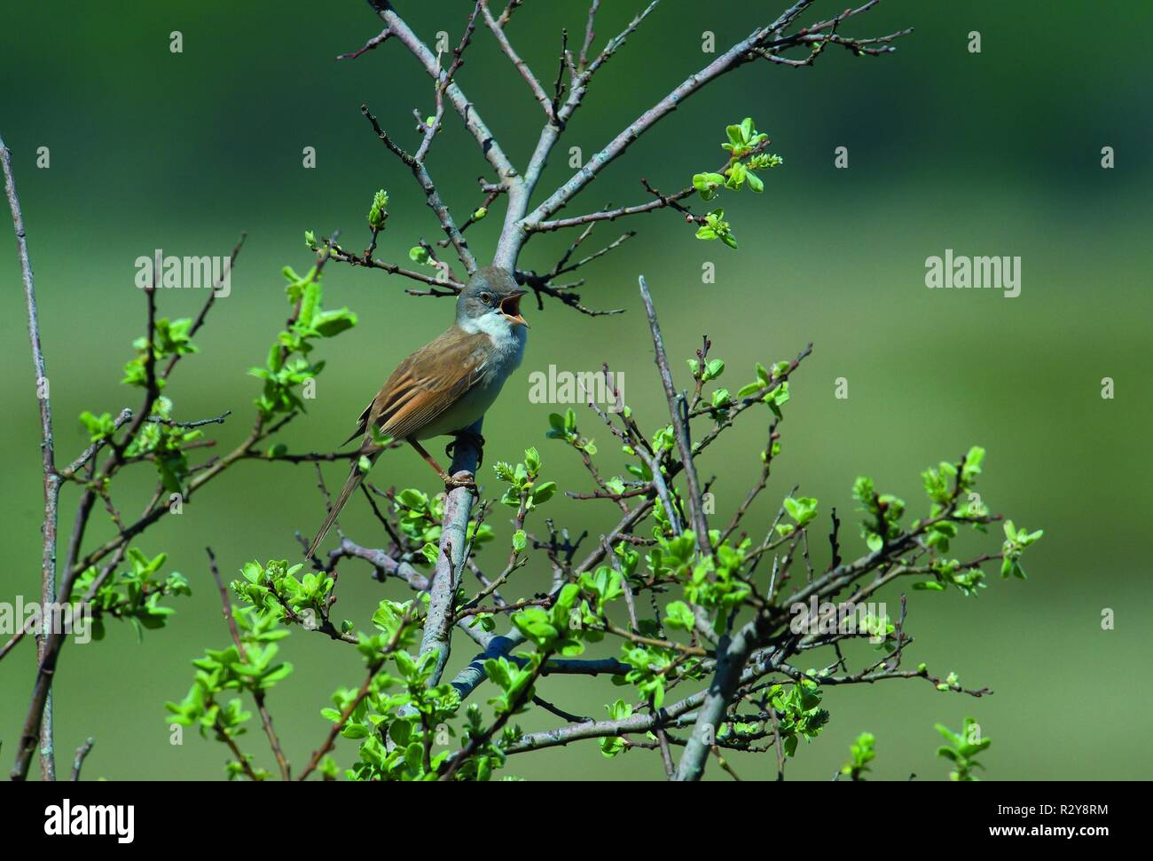 Common Whitethroat, Grasspoint, Isle of Mull - Stock Image