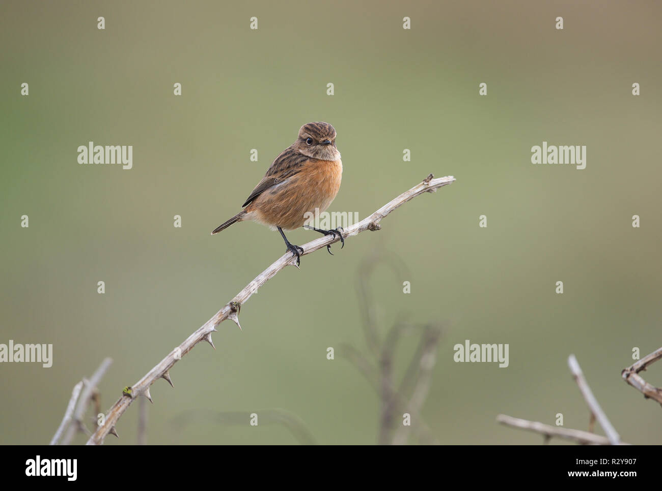Stonechat, Gramborough Hill, Norfolk - Stock Image