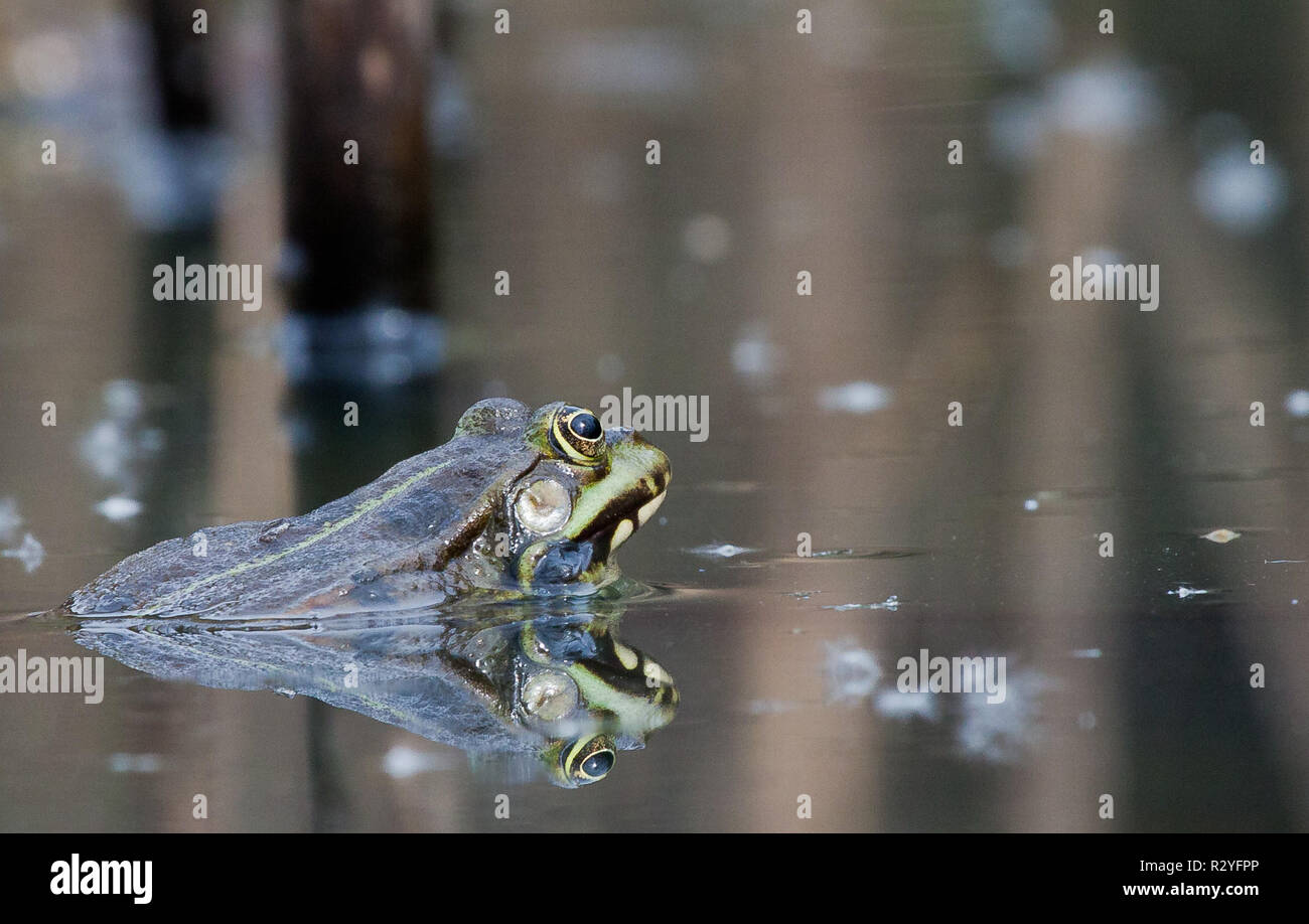 frog in the water - Stock Image
