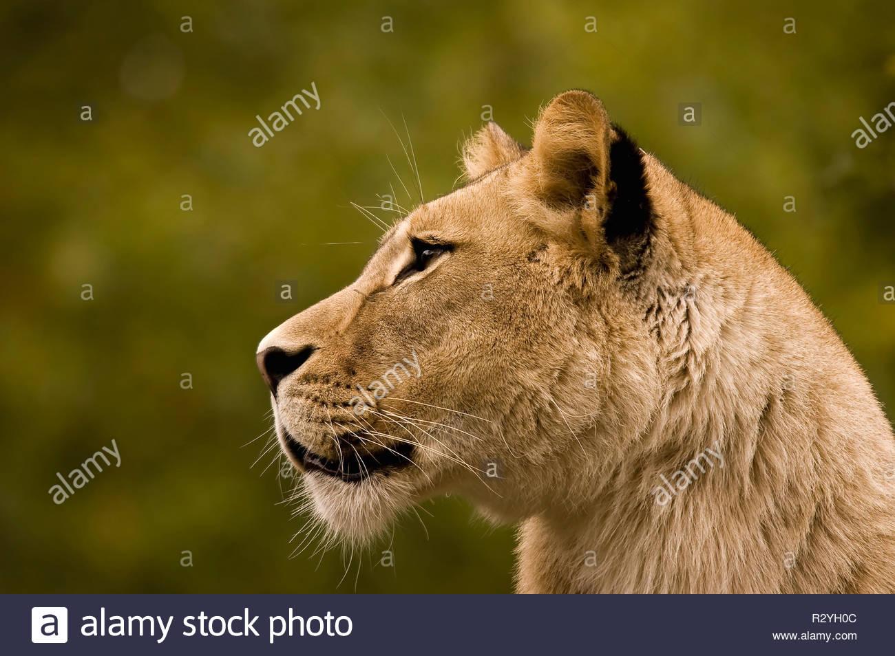 Weiblicher Löwe Stock Photo
