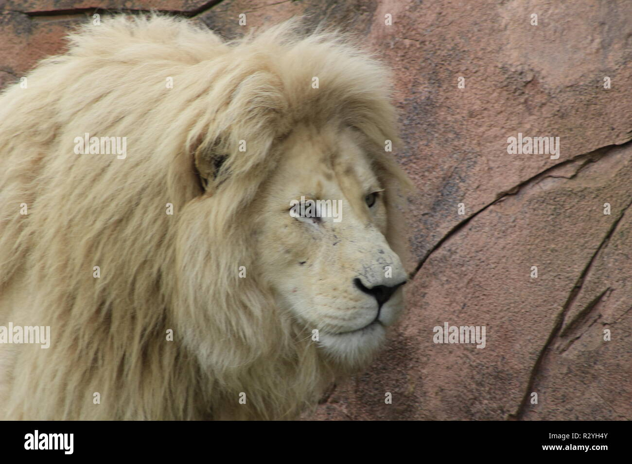 Male white lion. The white lions are a colour mutation of the Transvaal lion Panthera leo krugeri , also known as the Southeast African or Kalahari lion.. - Stock Image