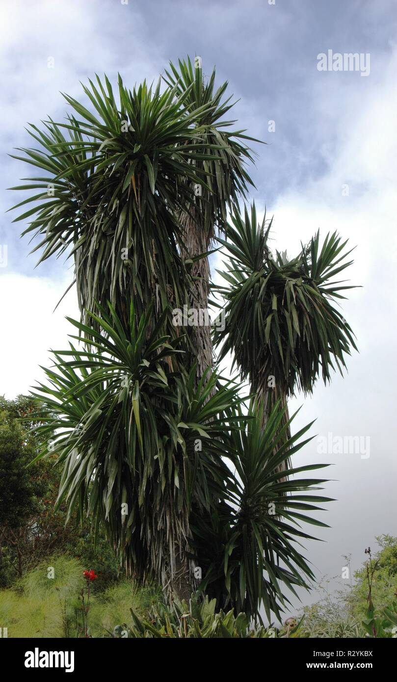 palm stump - Stock Image