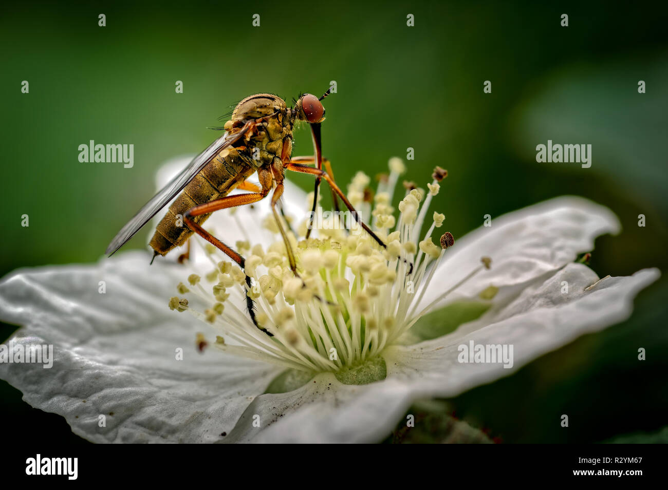 The Dagger Fly seen here is Empis opaca nectaring (feeding) on a dewberry flower. These flies are common throughout Europe except the peninsulas of th - Stock Image