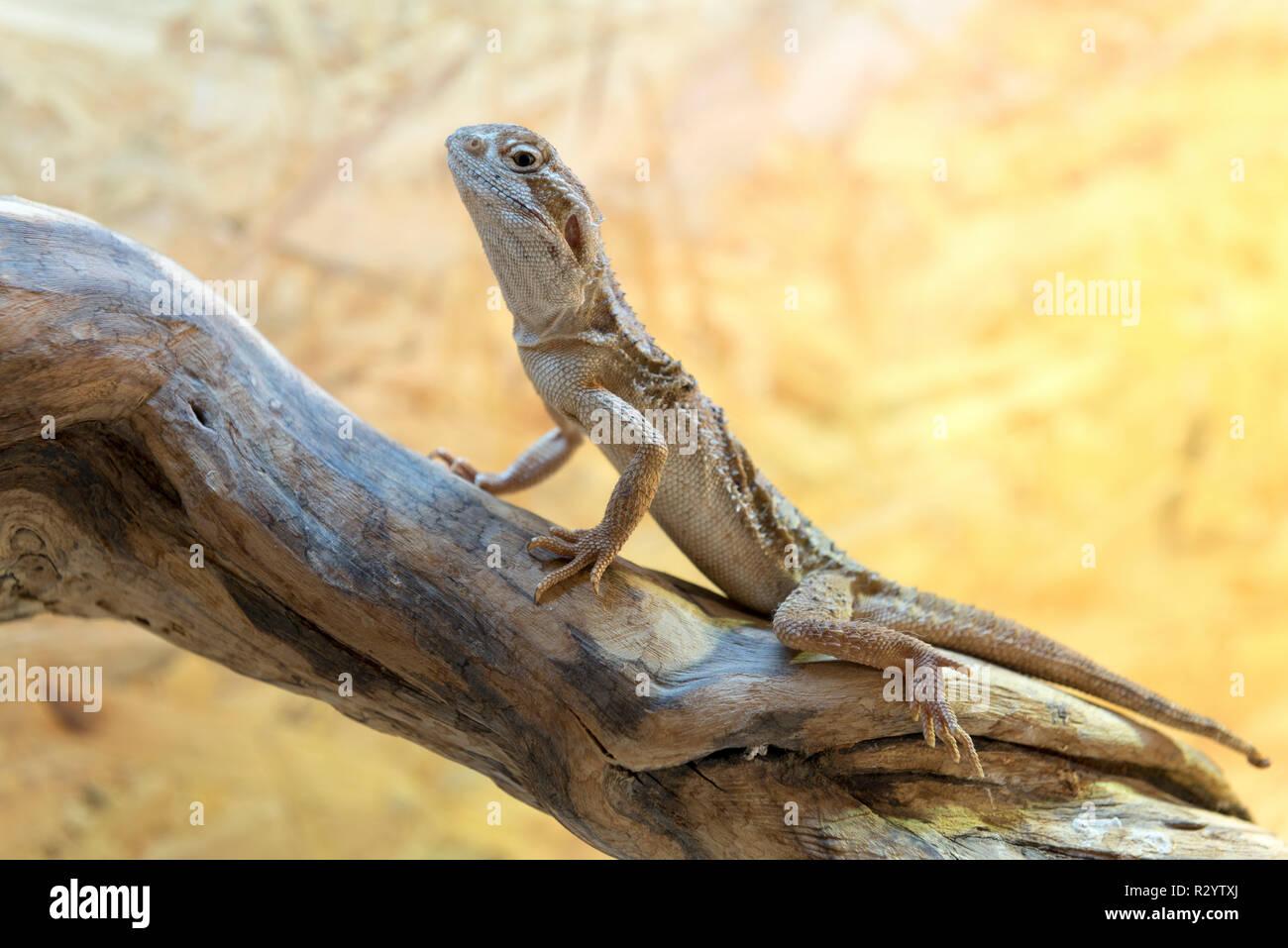 Rankin's dragon (Pogona henrylawsoni) on a branch - Stock Image
