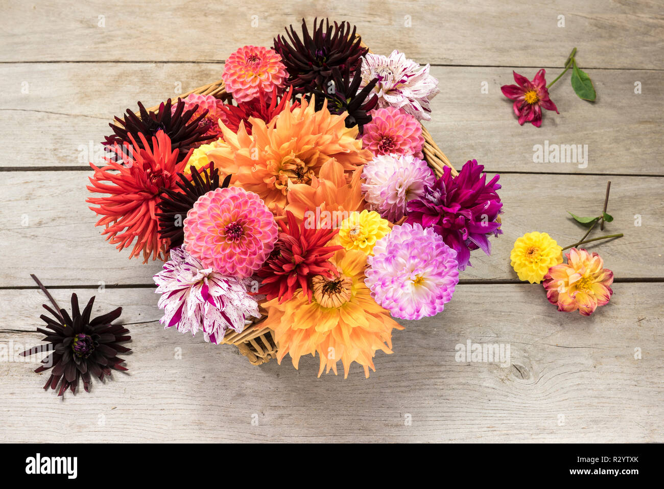 Dahlia flowers in a basket Stock Photo