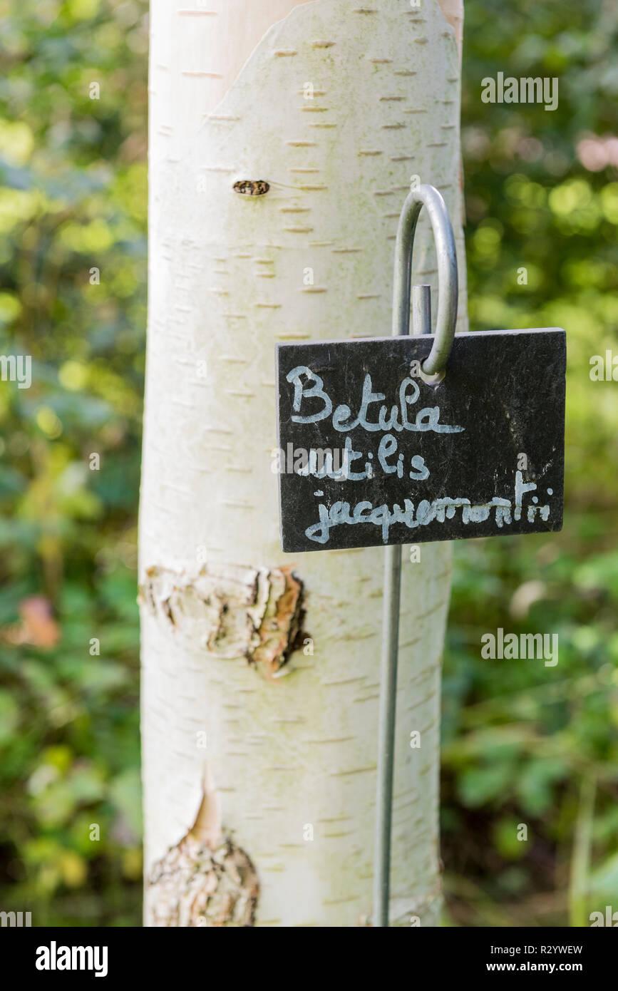 Himalayan Birch Betula Utilis Stock Photos Himalayan Birch Betula