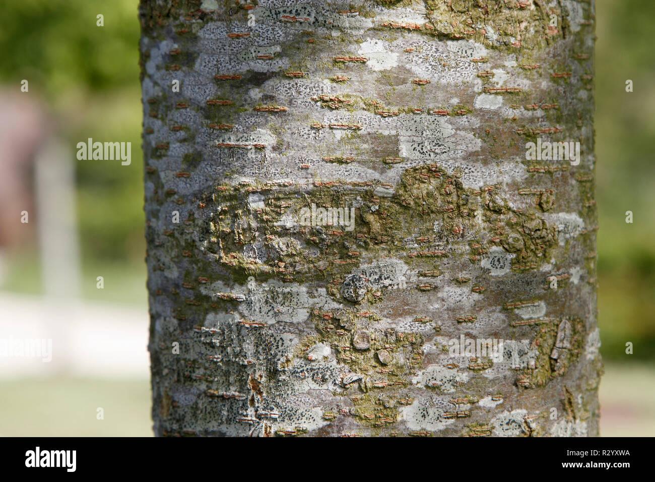 Japanese Zelkova bark (Zelkova serrata) in the Hanging Garden Park of Le Havre, Normandy, France - Stock Image