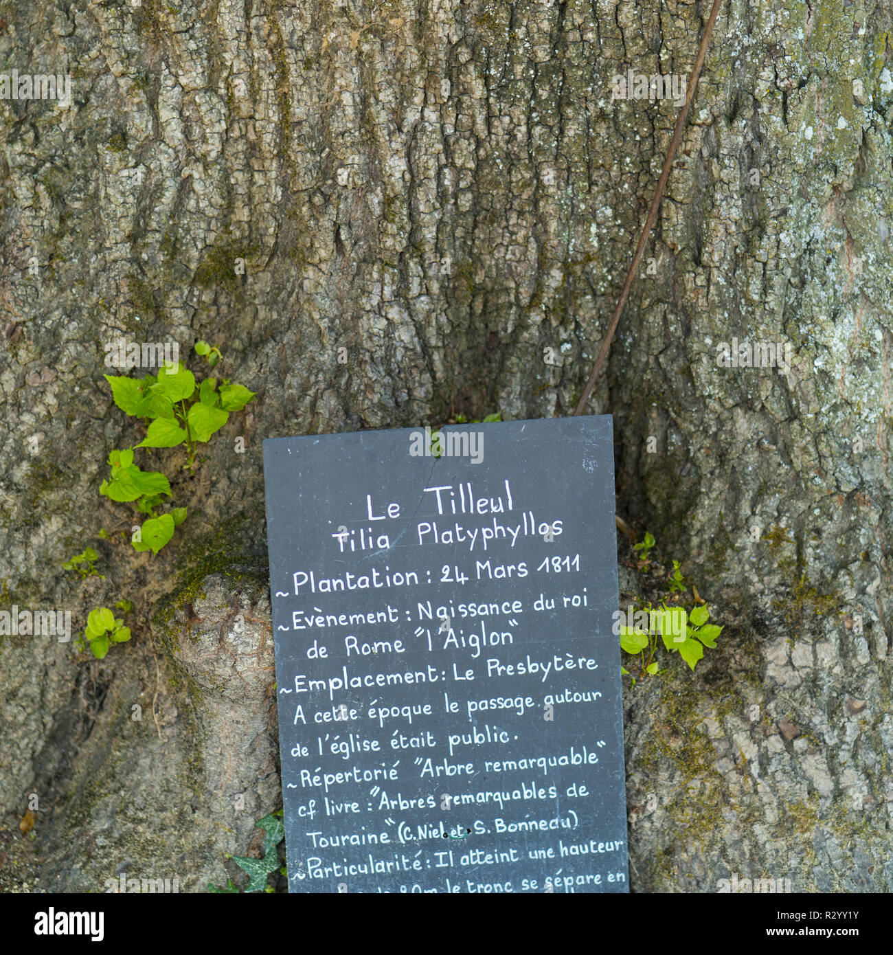 Ancient Lime Tree (Tilia sp.) nearby the church, Chedigny Garden-village, Indre-et-Loire Department, The Loire Valley, France Stock Photo