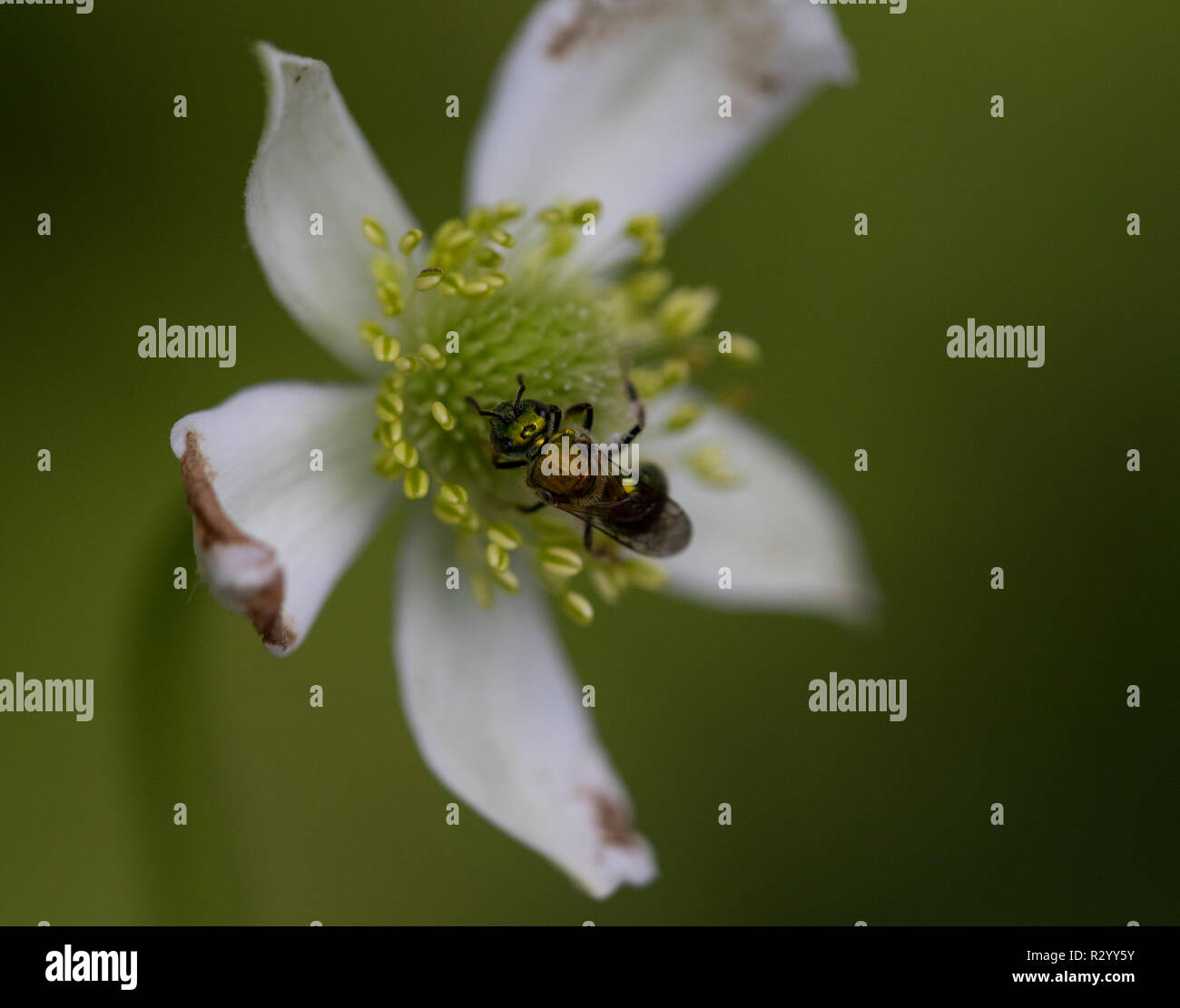 Green metallic sweat bee gathering pollen from Cherokee rose, Great Smoky Mountains National Park, Cades Cove loop - Stock Image