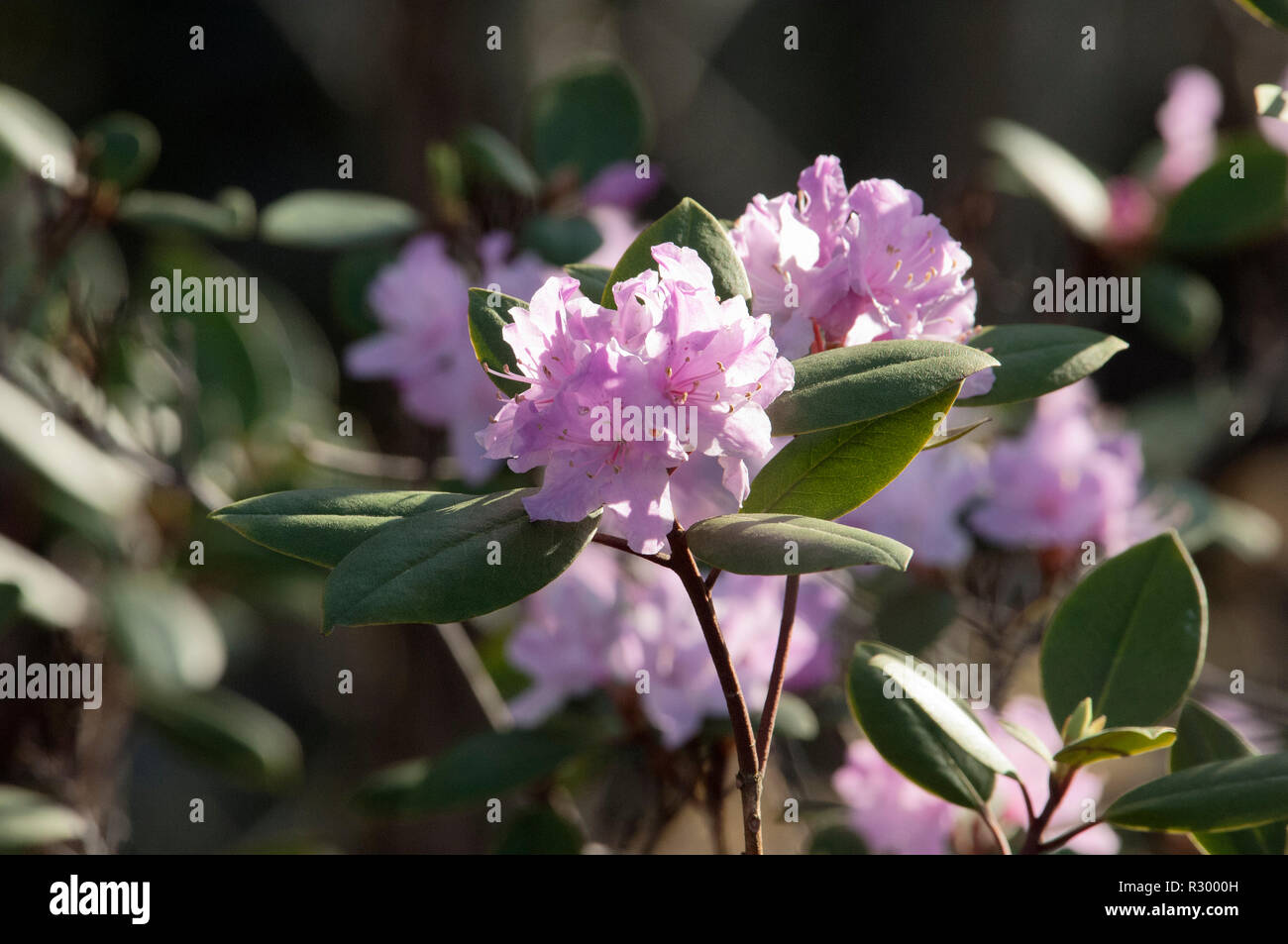 Wild rhododendron flowering in Cumberland Gap. Digital photograph - Stock Image