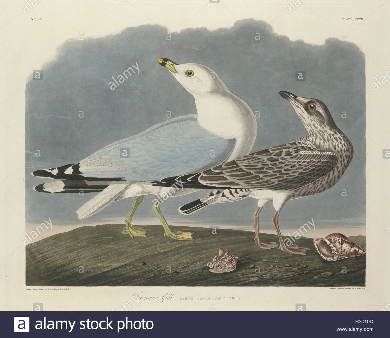 Common Gull. Dated: 1834. Medium: hand-colored etching and aquatint on Whatman paper. Museum: National Gallery of Art, Washington DC. Author: Robert Havell after John James Audubon. - Stock Image