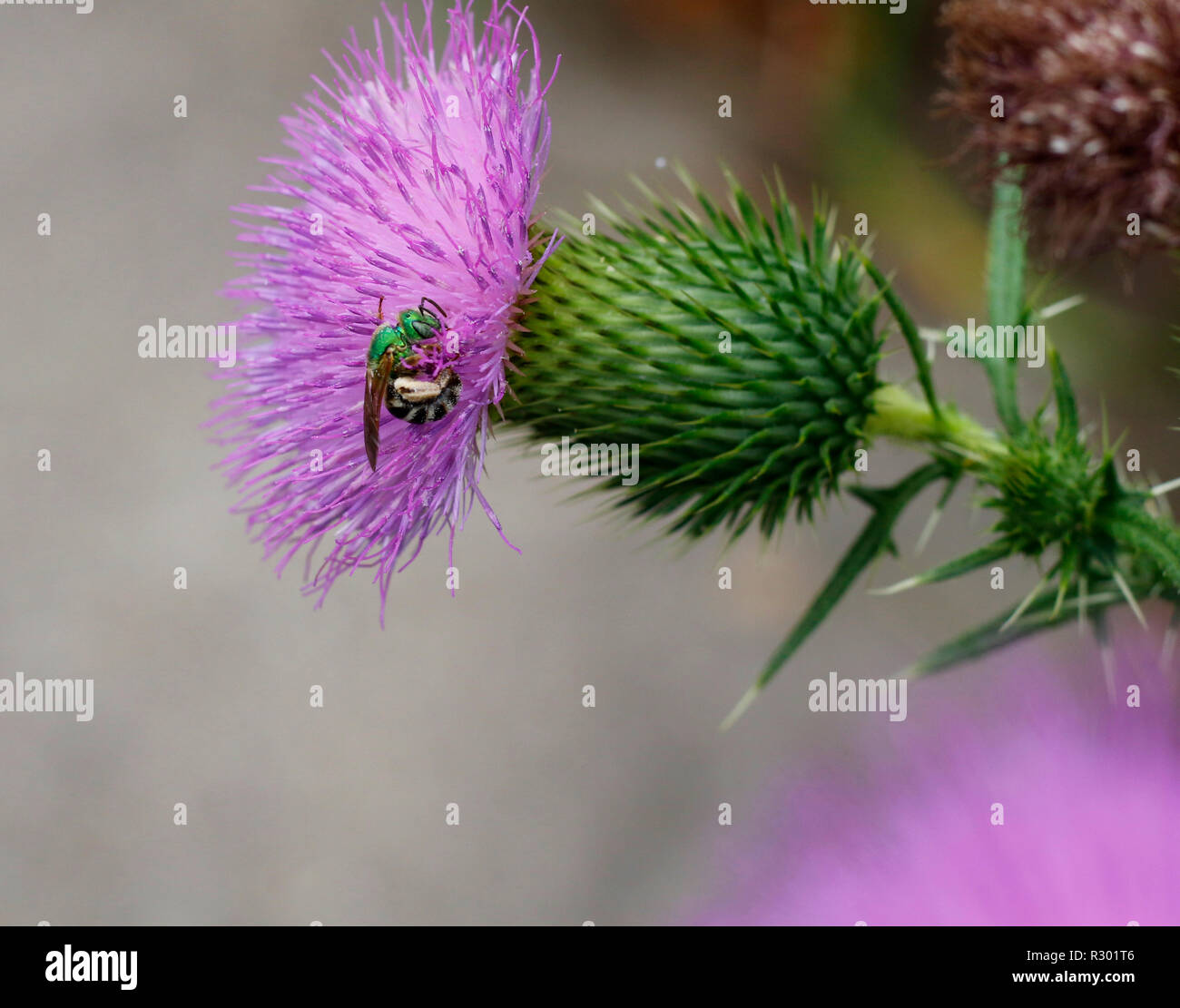 Bicolored Green sweat bee, Agapostemon, gathering pollen on thistle flower, Summer Jeffersonville, Indiana - Stock Image