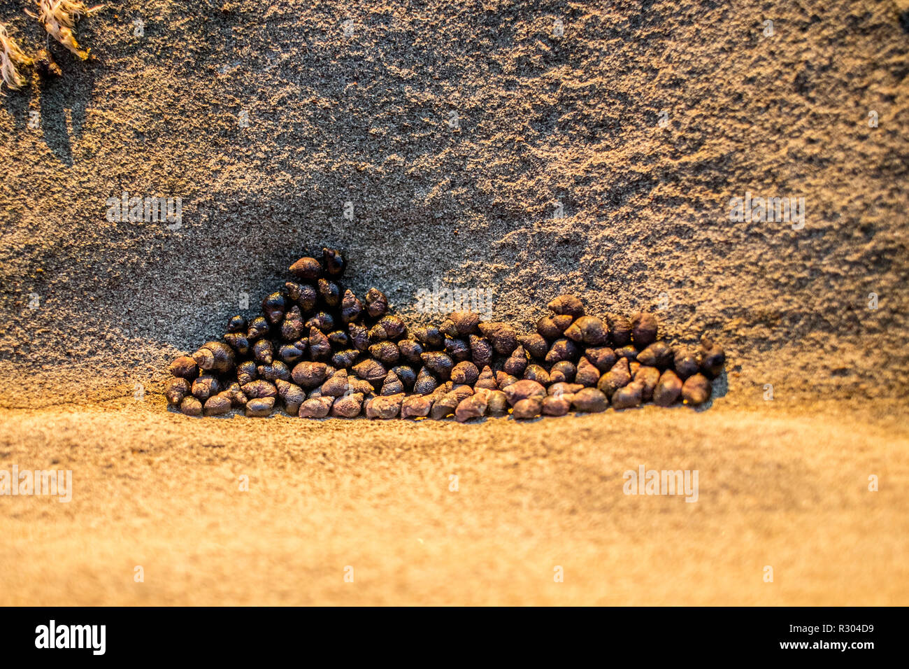 A colony of tiny snails huddles together in a dried-up tide pool near Coos Bay, Oregon. - Stock Image