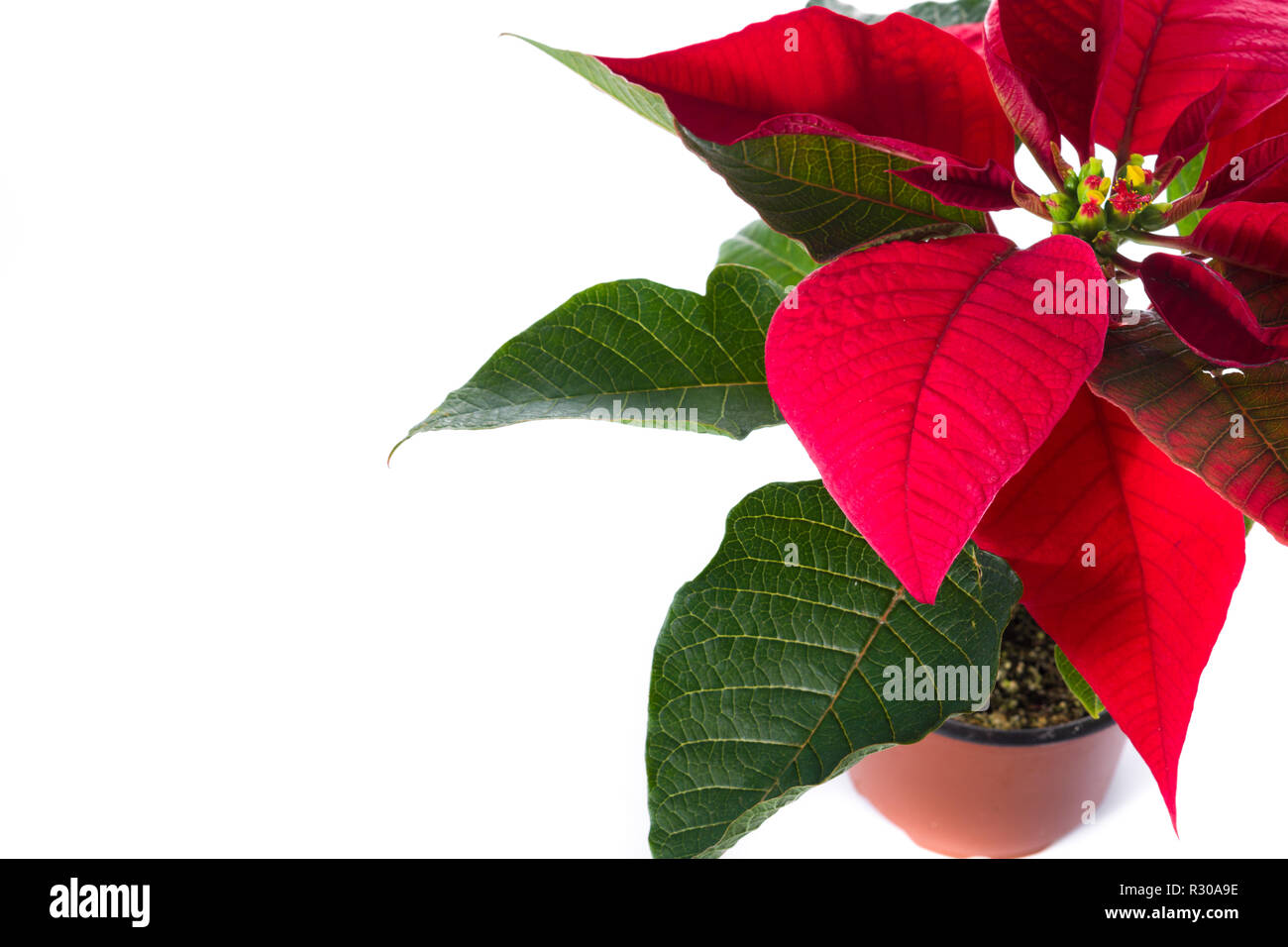 Christmas poinsettia flower isolated on white background.Copyspace - Stock Image