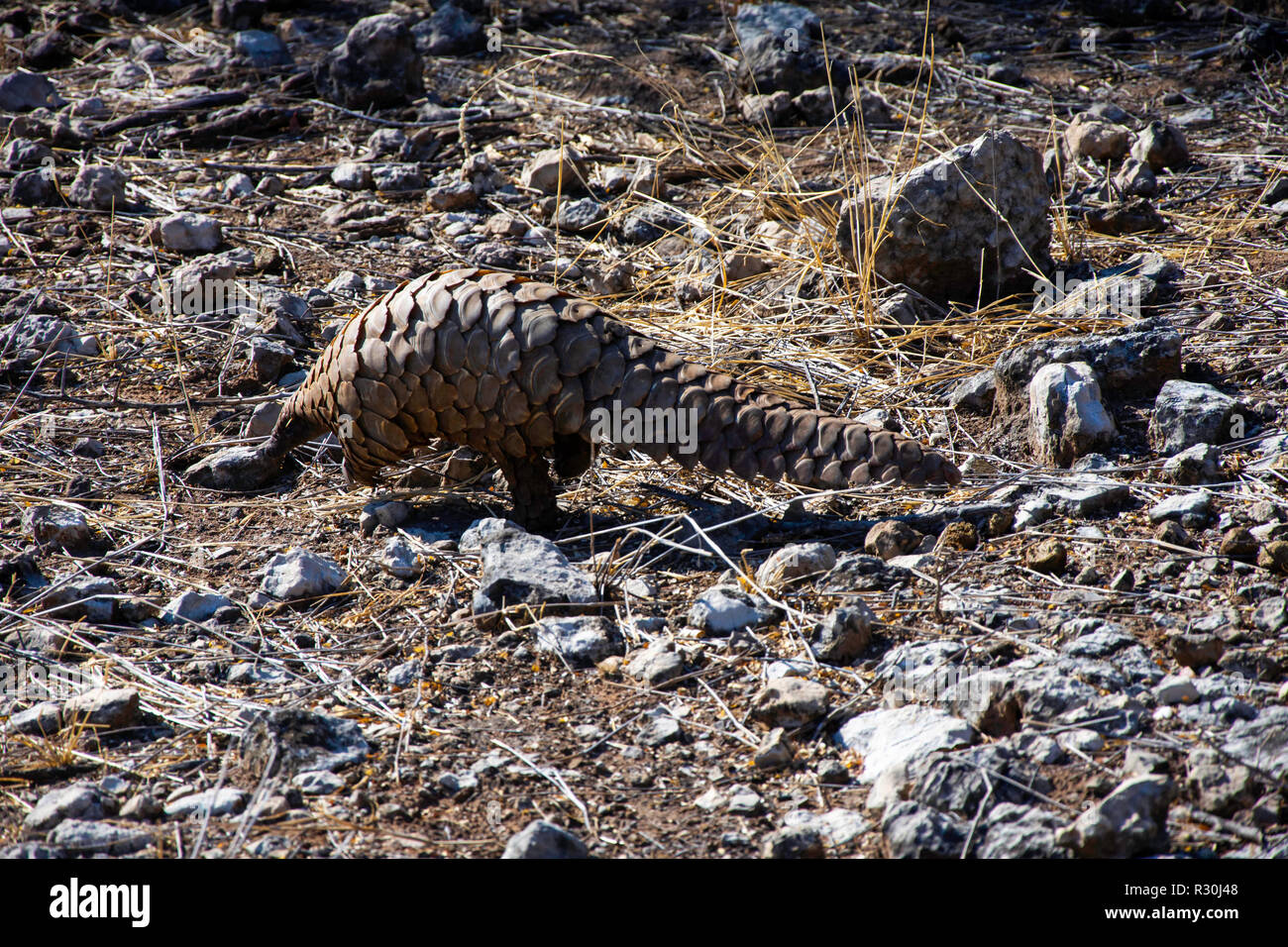 A Cape or Groiund Pangolin (Smutsia temminckii) forages for food in Namibia. - Stock Image