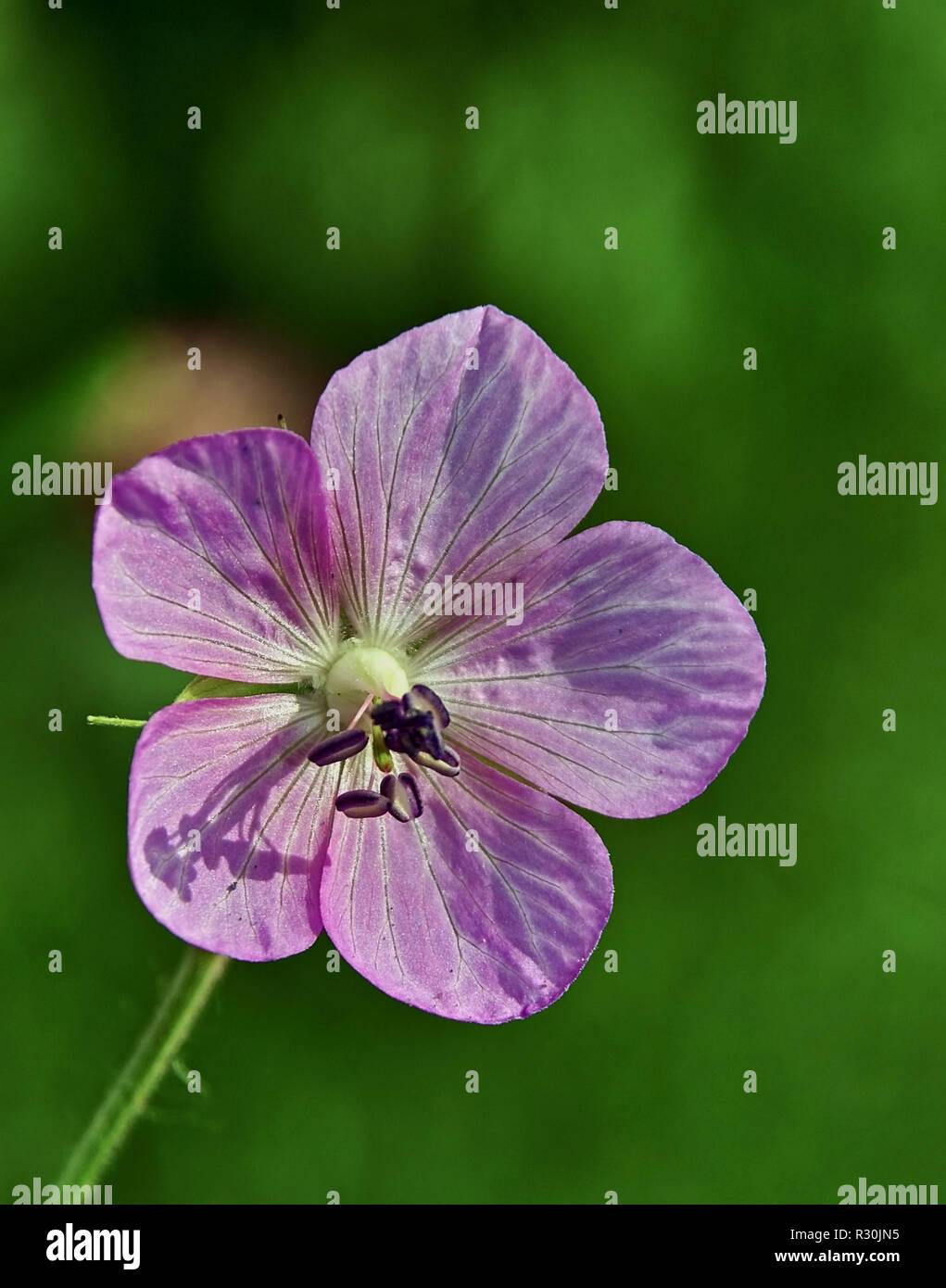 wiesenblume Stock Photo