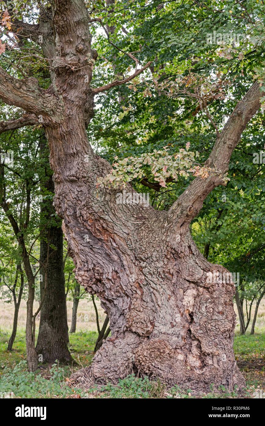 Centuries old English oak / pedunculate oak (Quercus robur) in late summer / autumn Stock Photo