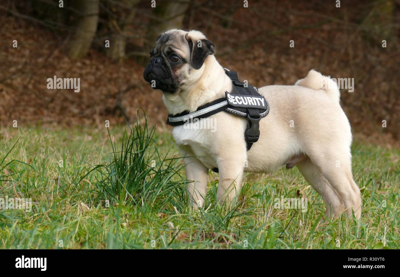 young pug faces - Stock Image