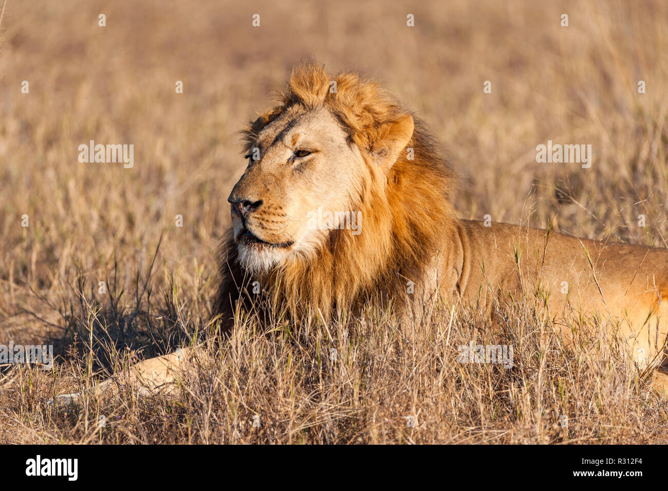 A large male lion seen in Zimbabwe's Hwange National Park. Stock Photo