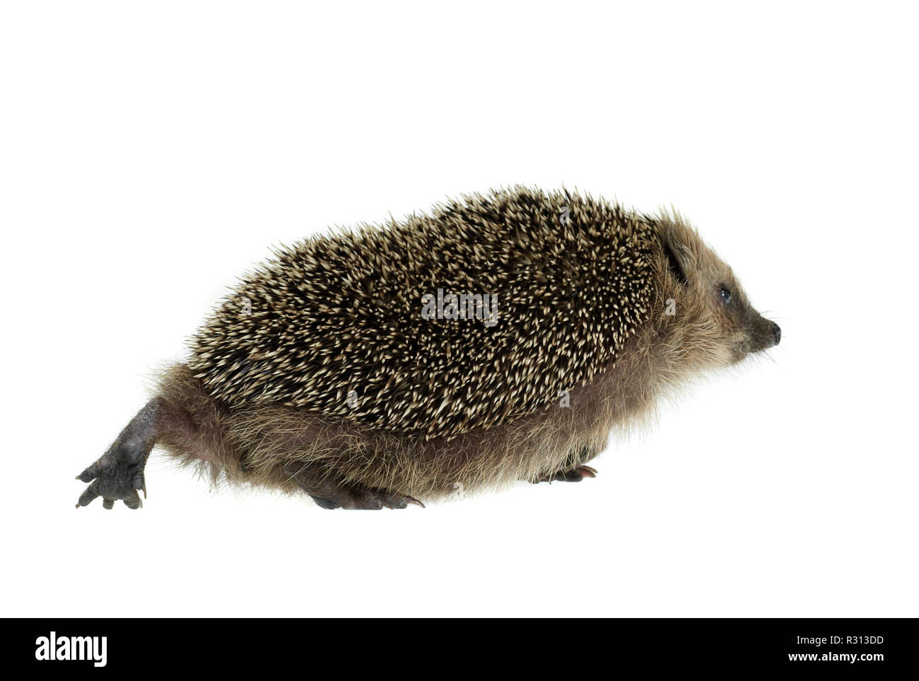 walking hedgehog in white back - Stock Image