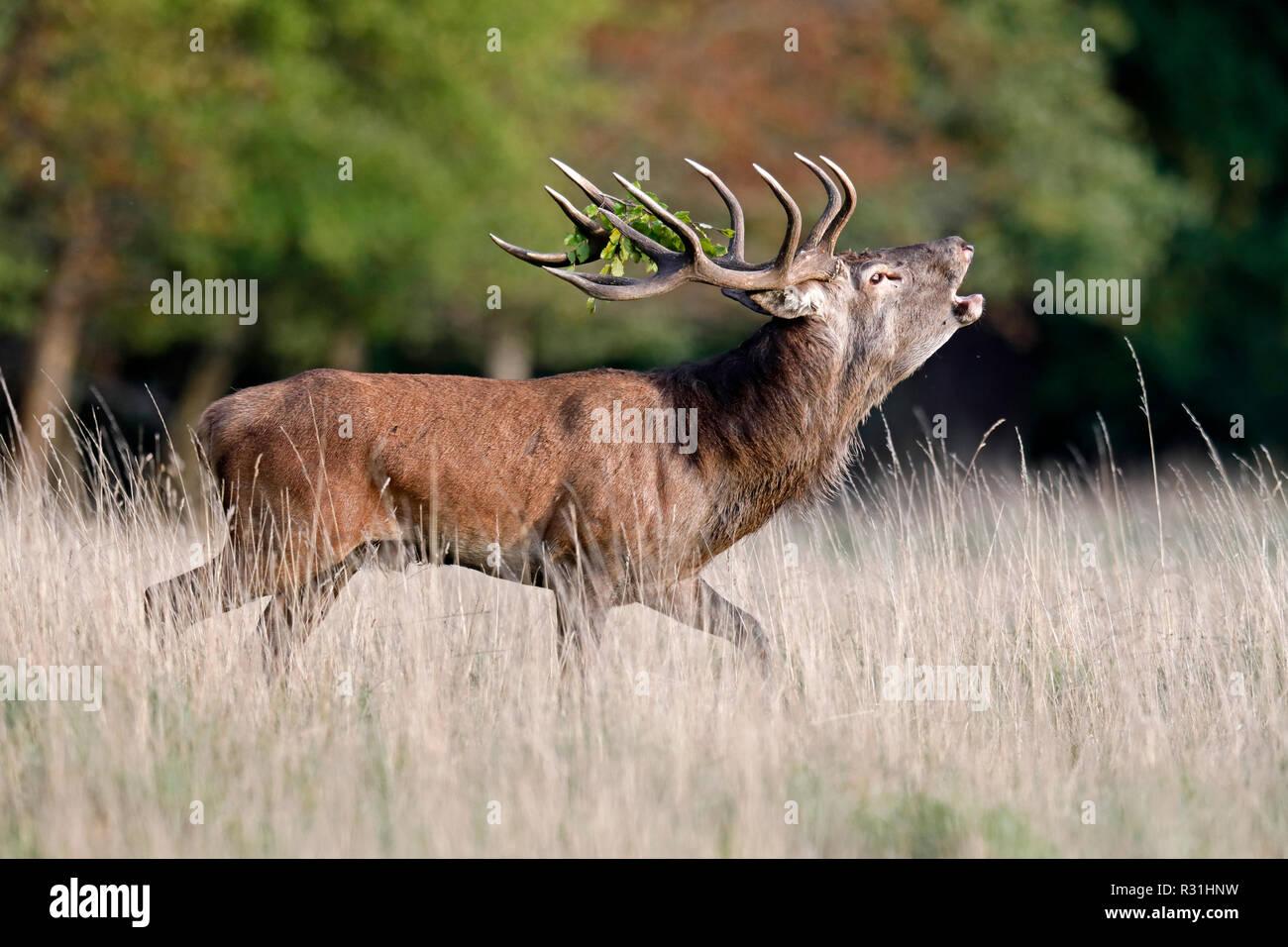Red deer (Cervus elaphus), rutting season, deer roars, Denmark - Stock Image