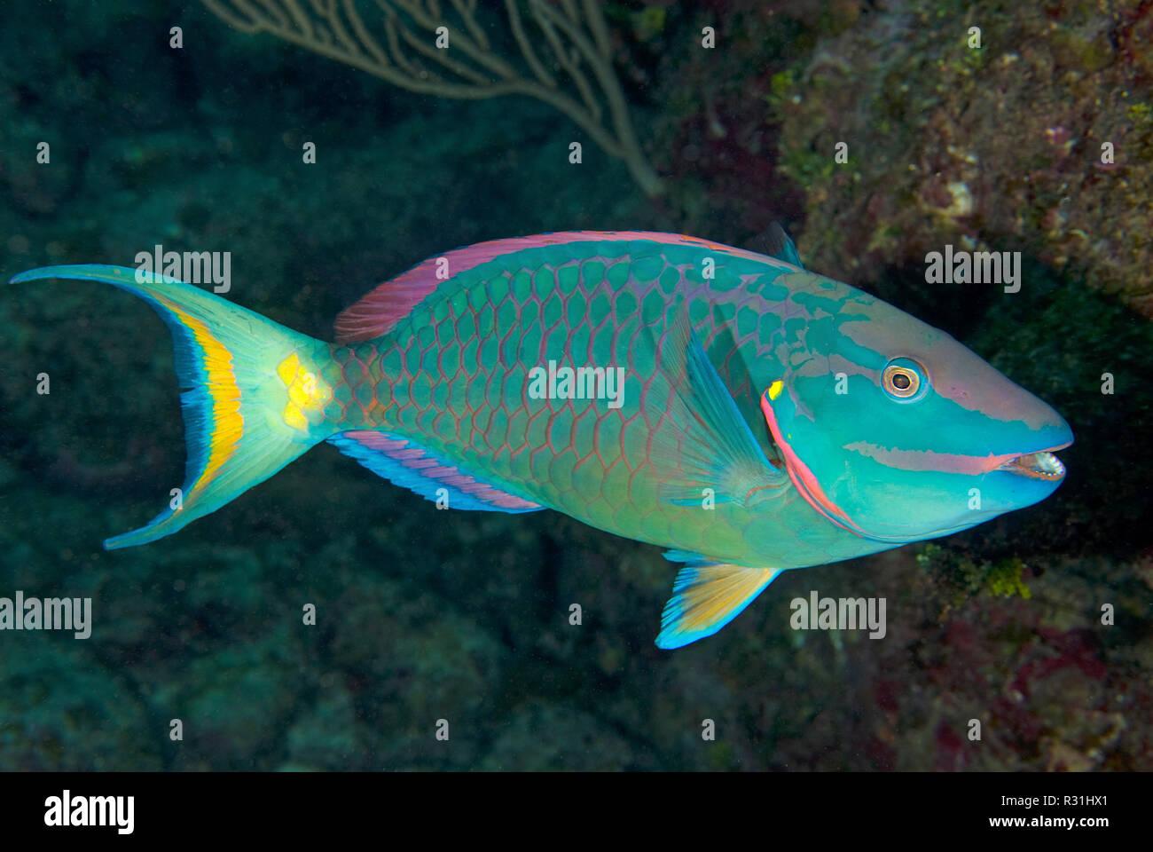 Stoplight parrotfish (Sparisoma viride), Roatan, Bay Islands, Honduras - Stock Image