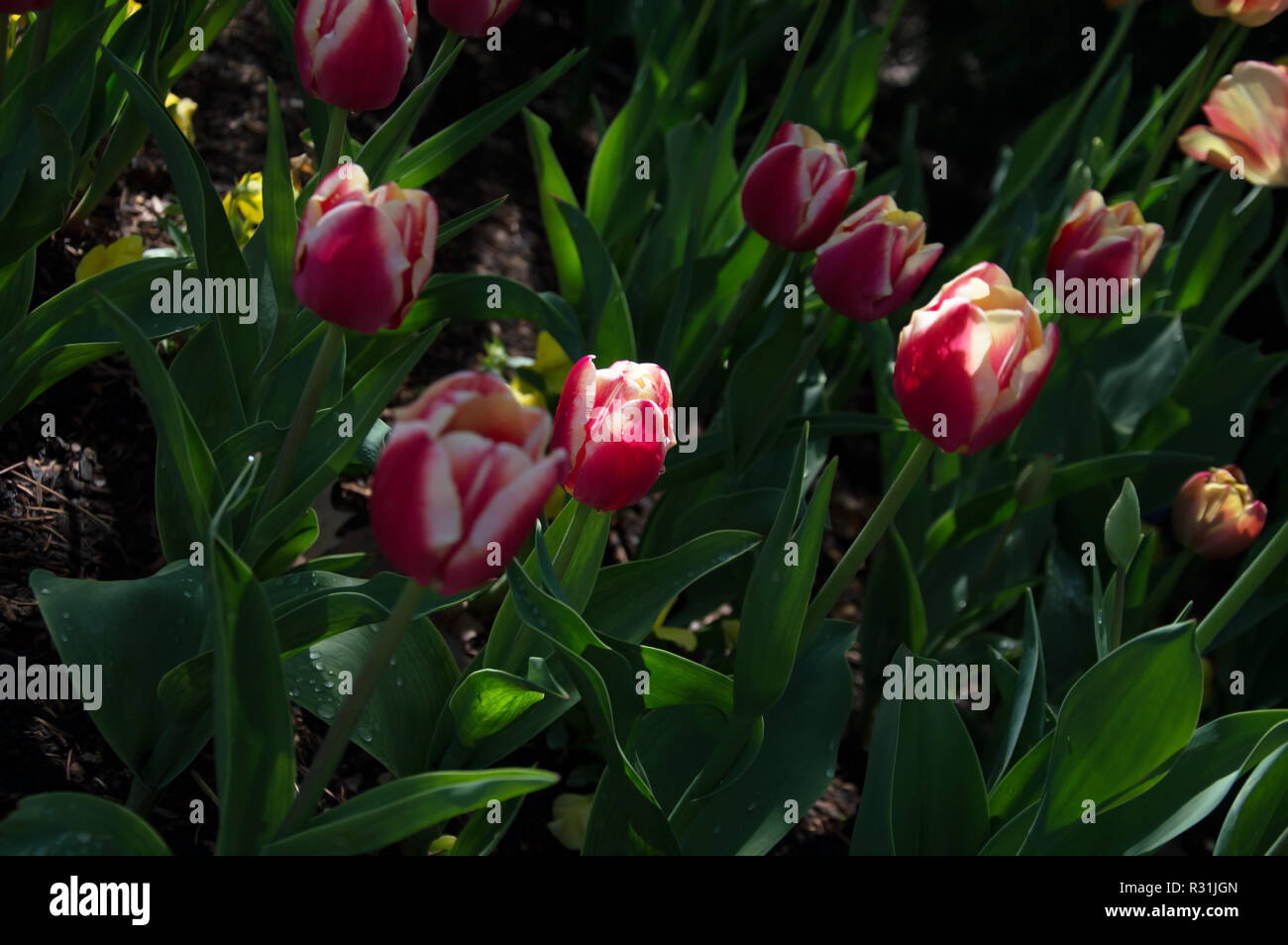 A patch of red and white tulips in darkness, with one tulip lit up by the sun. - Stock Image