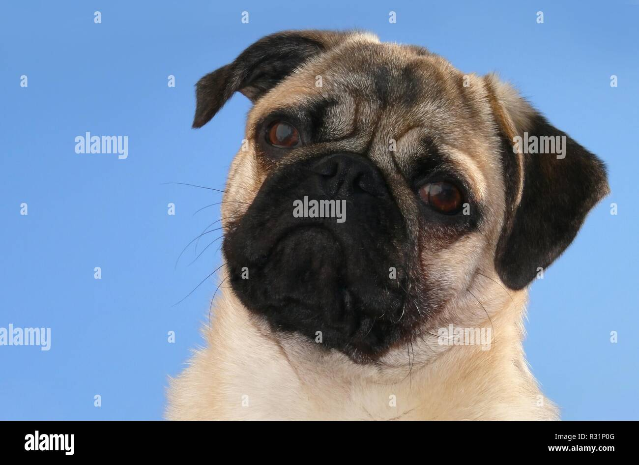 mopsportrait - Stock Image