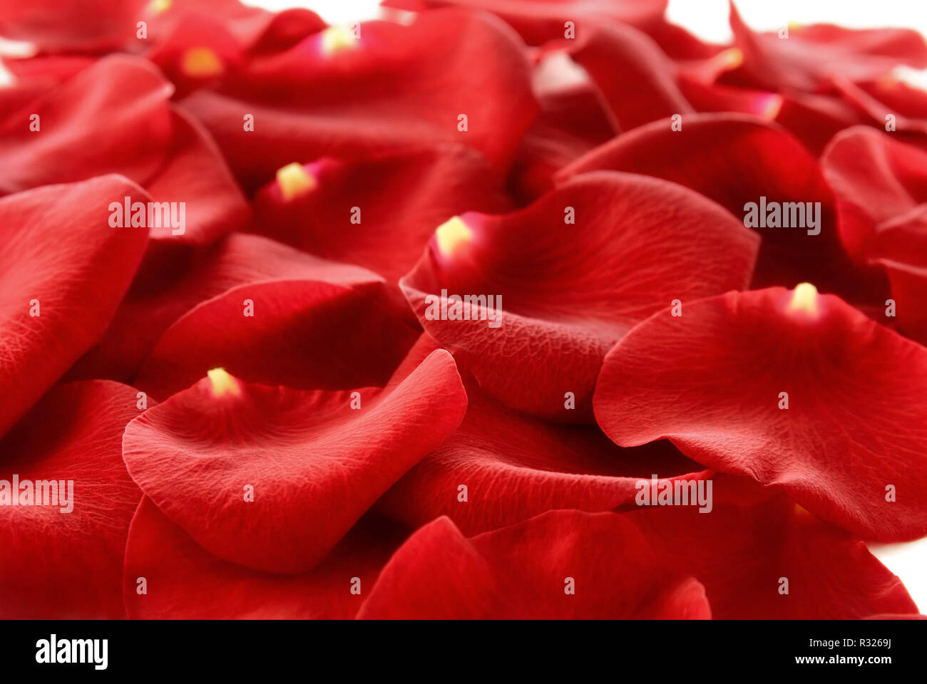 Carpet Rose Stock Photos Carpet Rose Stock Images Alamy