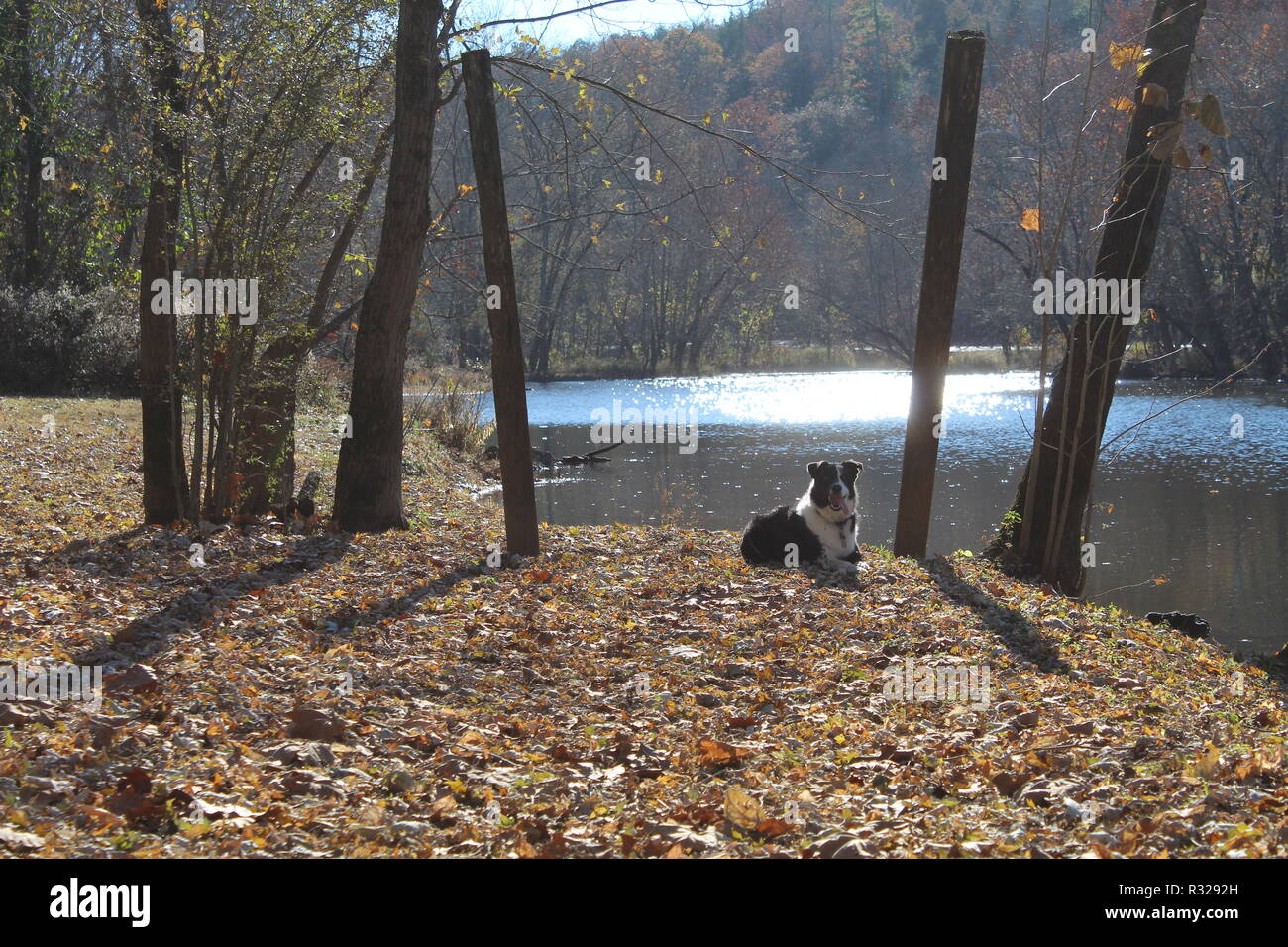 Border Collie posing in autumn scenery - Stock Image